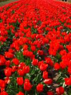 Tulip_DSCF1227