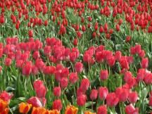 Tulip_IMG_4433