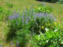 The lupine was in full bloom and had not gone to seed yet.