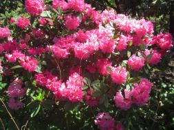 Cystal_Rhododendrons_IMG_5651