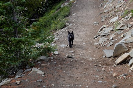 I was surprise when a black fox climbed up on the trail and started coming towards me.