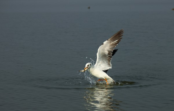 A gull catches a fish