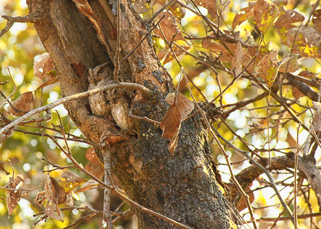 A pair of Scops Owls rest during the day in a hollow
