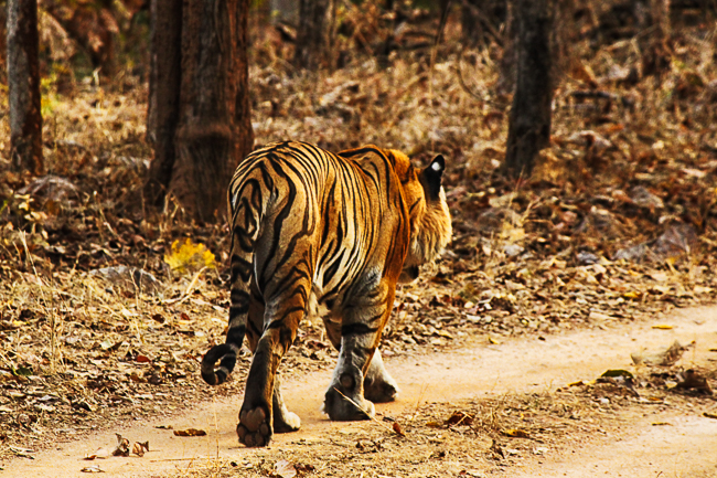 We spotted the tiger known as BMW walking majestically along the jeep trail