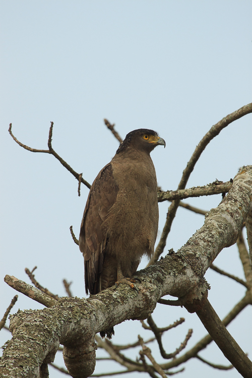 One of the first raptors we spotted was this Crested Serpent Eagle