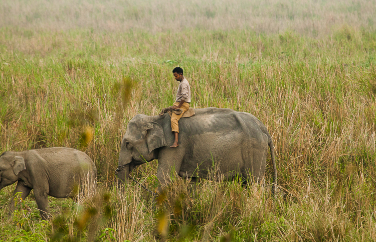 A mahout leads an elephant and it's calf along the grasslands