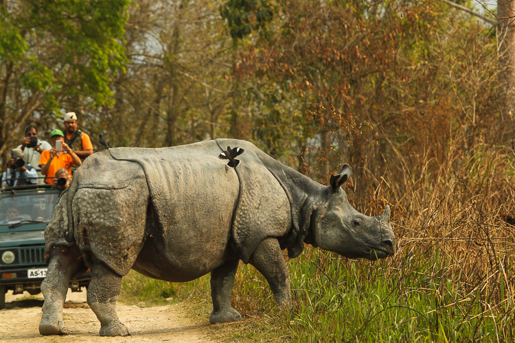The Rhinoceros crossed the road as a bird perches on its back and garishly dressed tourists look on in awe