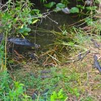 Baby Alligators with Mom