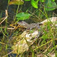 Large Baby Alligator