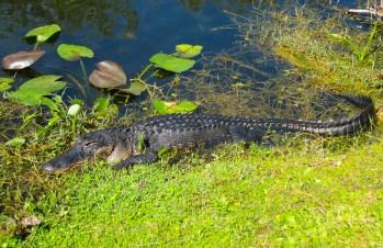 Everglades National Park – Spoonbills & Herons, & Alligators, Oh My!
