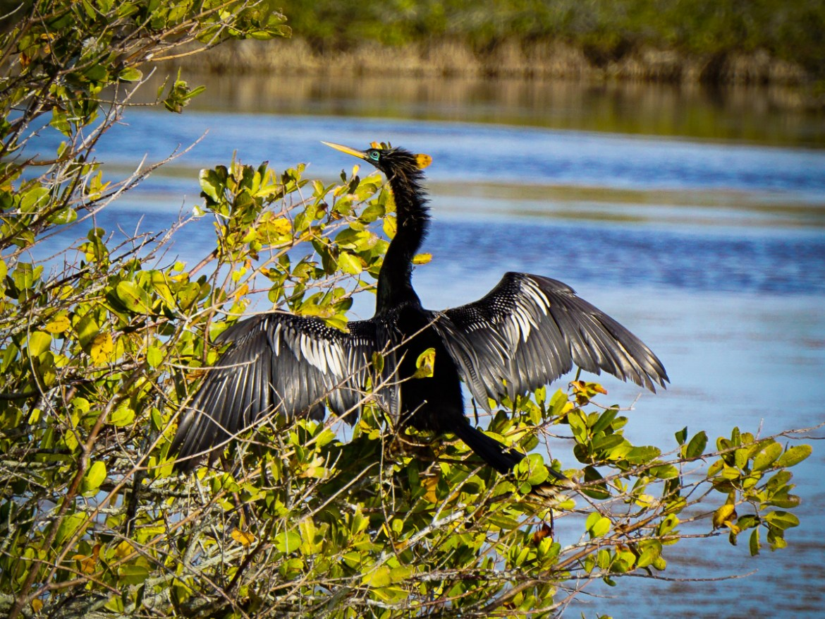 Male Anhinga drying its wings