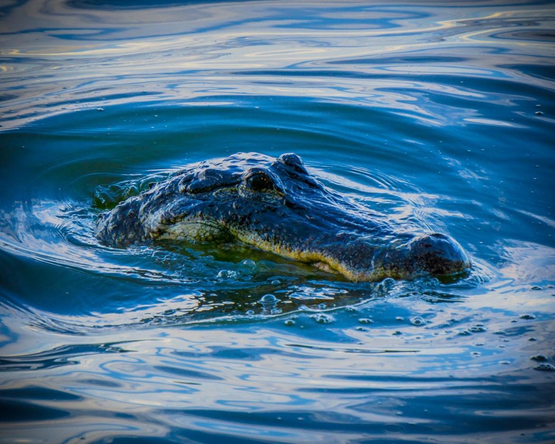 Floating Alligator
