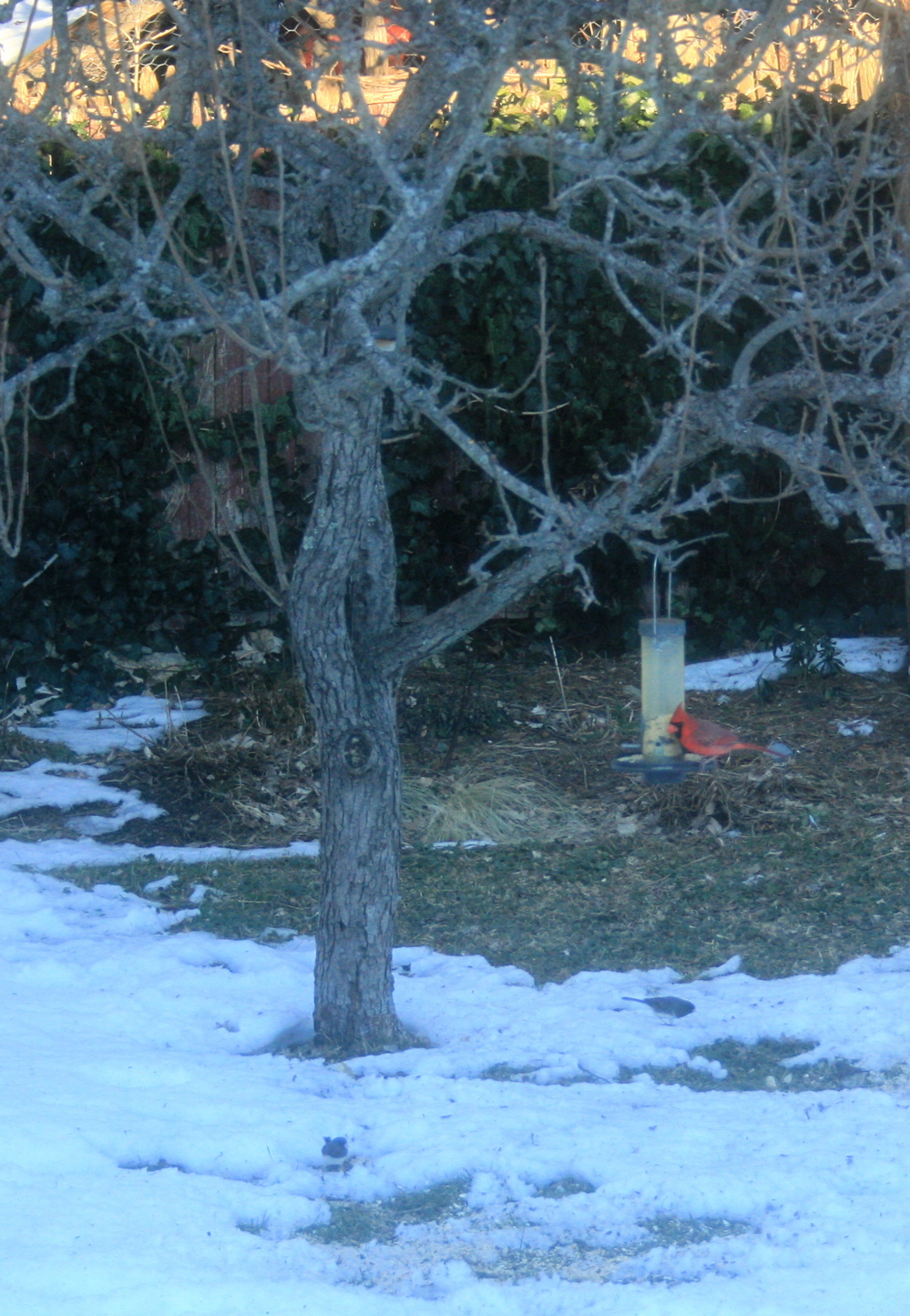 Cardinal and the Juncos(?).  Hey, that's not a bad band name...