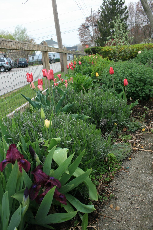 streetside tulips, etc