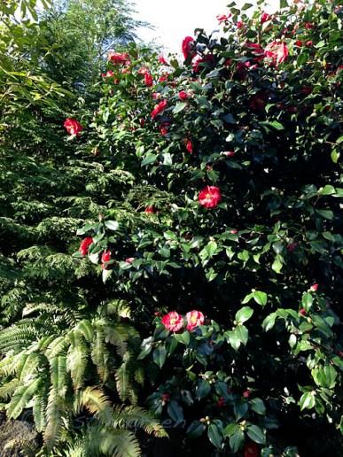 Camellia blooming in a sidewalk garden.