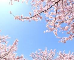 新宿御苑桜