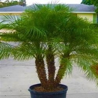 Cute Palm Gardening Ideas For Front Yard 10