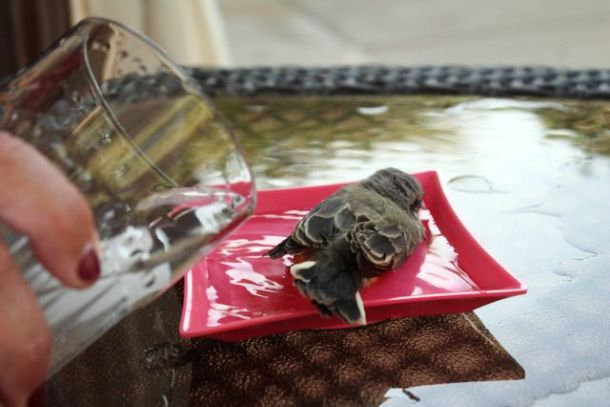Little bird refreshes in a plate with water