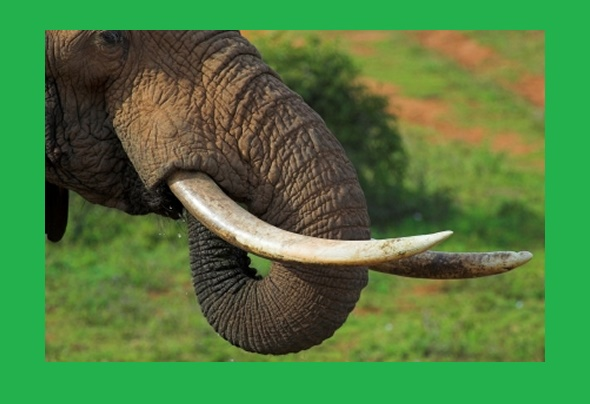 People kill them because of ivory