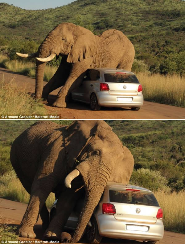 Elephant fell in love with a car that was passing through the Safari park