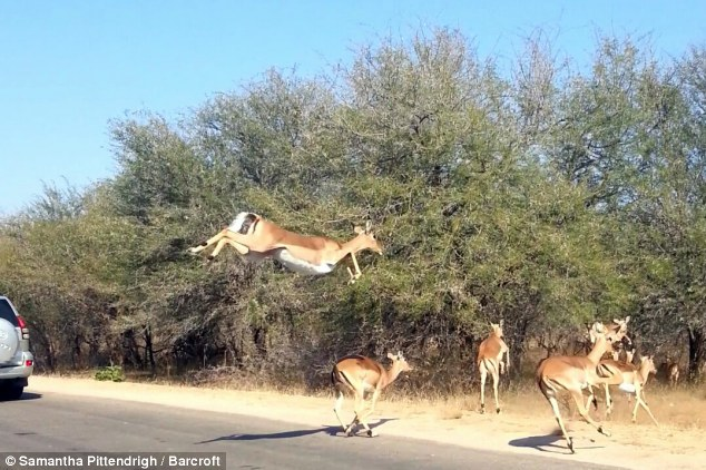 The impala that found refuge from cheetah by leaping into tourists' car