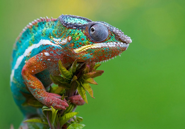 Chameleons and their color change