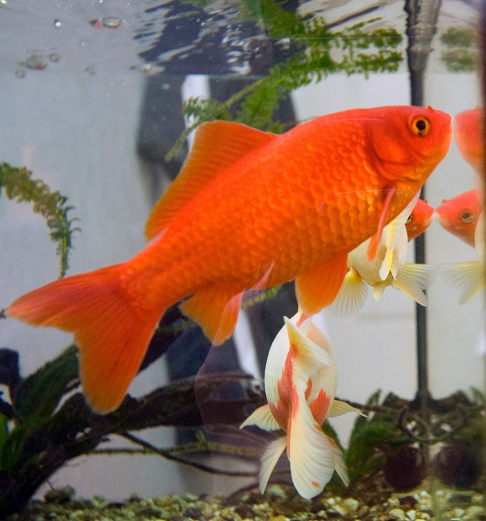 Goldfish have three second memory