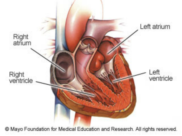 What makes the heart to reside on the middle-left corner of the body