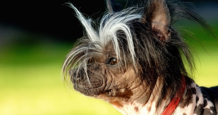 10 Of The World S Peculiarly Ugly Dog Breeds