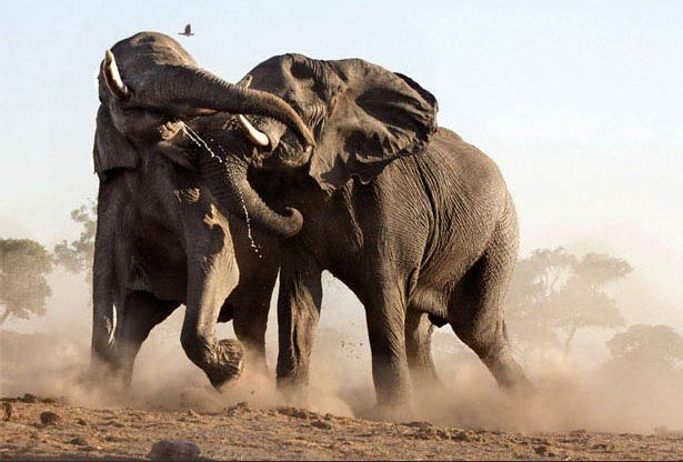 Elephants in Botswana. Steve Bloom