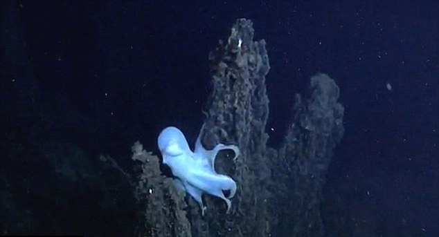 Features of the Ghost Octopus