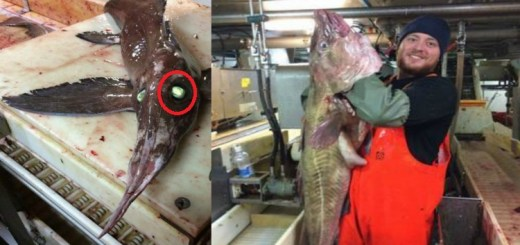 Fishermen catch a mysterious winged green eyed fish off the coast of Newfoundland