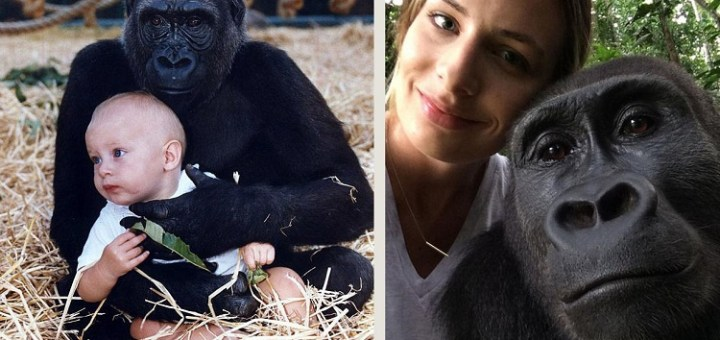Reunion with Gorillas who were childhood companions turns Into a nostalgic occasion for her…