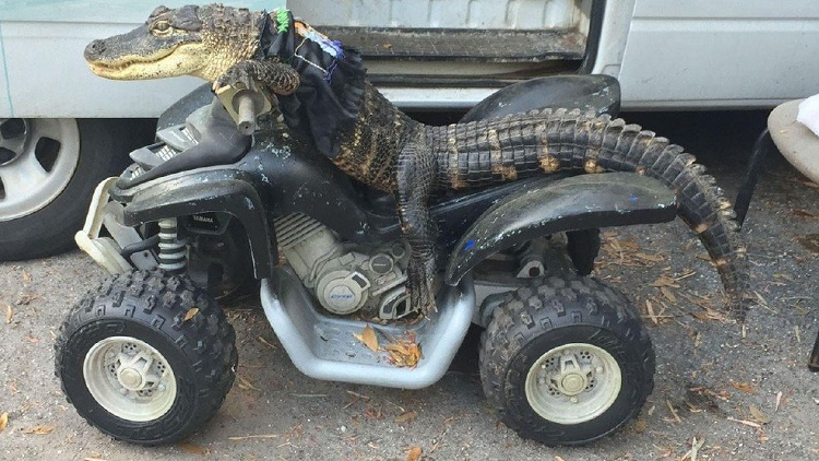 This Alligator Has Skills You Wouldn't Believe and He Loves His Human Mamma
