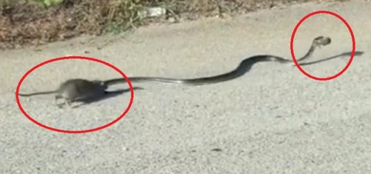 An Incredible video of a mom rat saving her baby from a snake