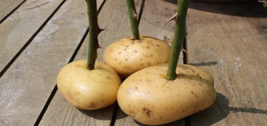 Watch what happens when this guy plants a potato with a rose in it