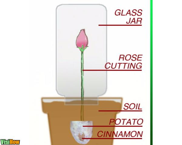 planting rose in a potato