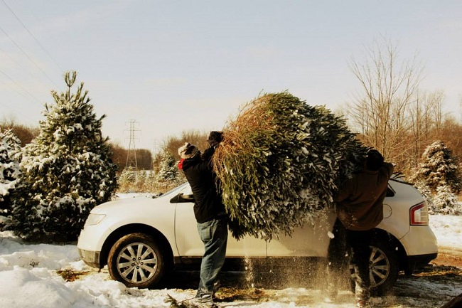 Loading Christmas tree in the car