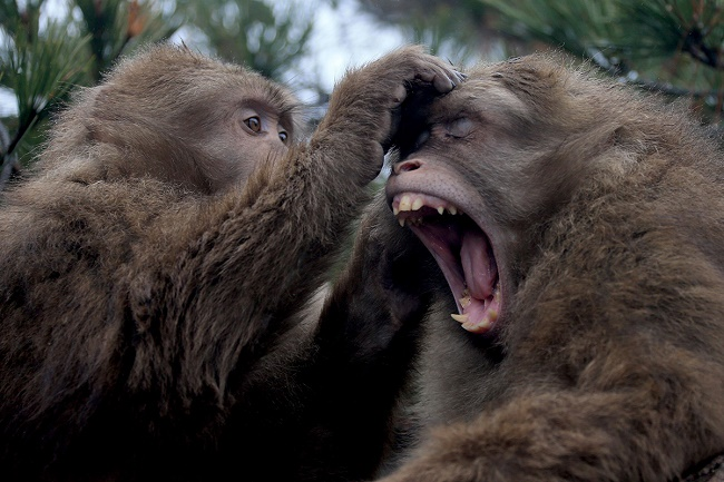 The study to see if monkeys can speak