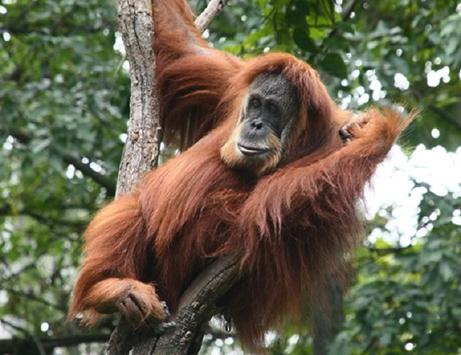 Orangutans build their nests on treetops