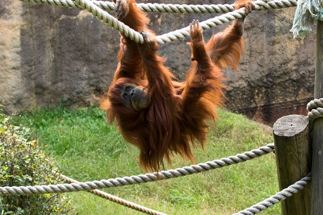 Orangutans travel a great distance