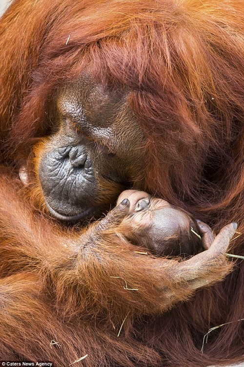 critically endangered Bornean orangutan population
