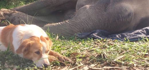 Dog Refuses To Leave Dying Elephant At A Sanctuary In Thailand