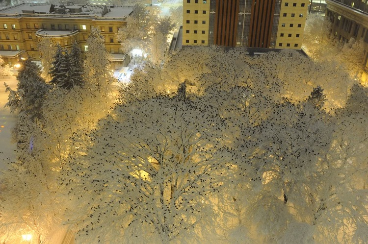Crows sitting on the top of snow-laden trees