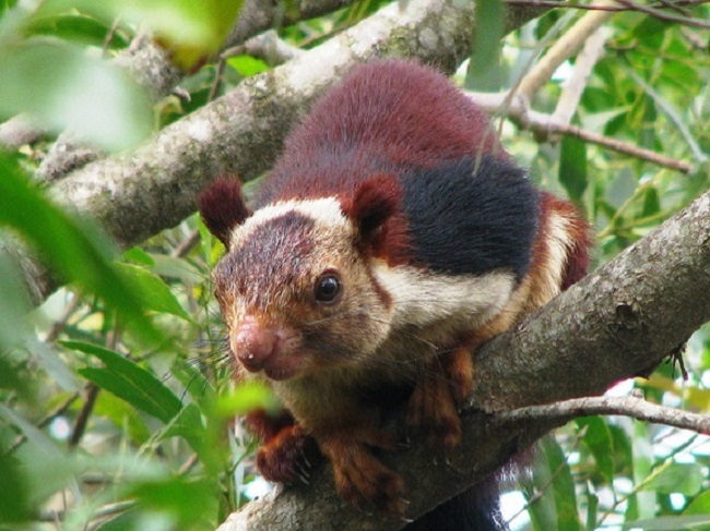 Indian Giant Squirrel Pictures