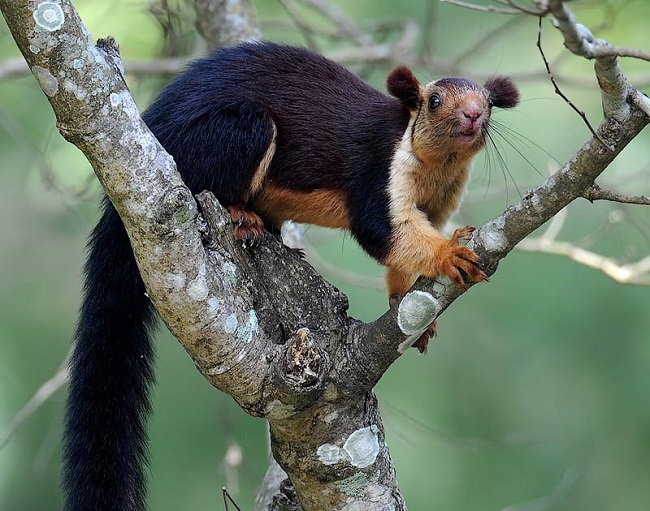 Malabar giant squirrels