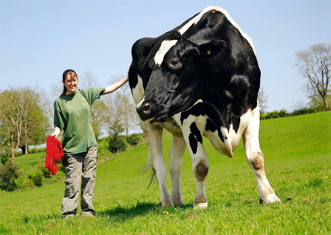 Cows can also grow to giant sizes