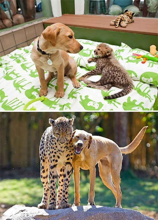 Kasi the Cheetah and Mtani the Labrador