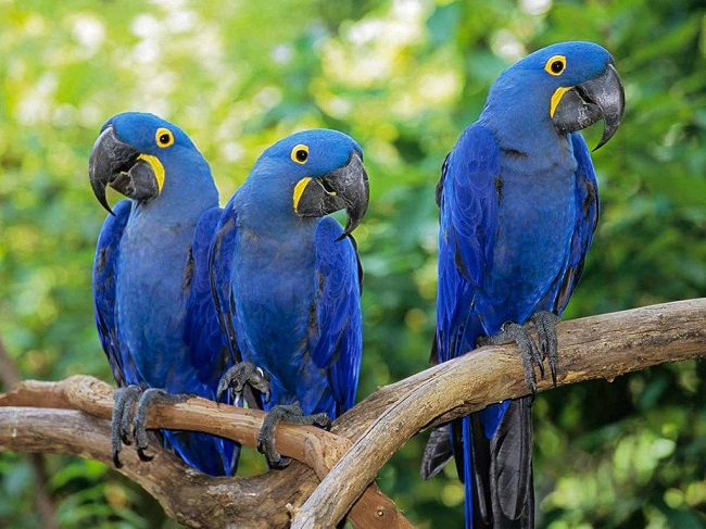 The Hyacinth Macaw
