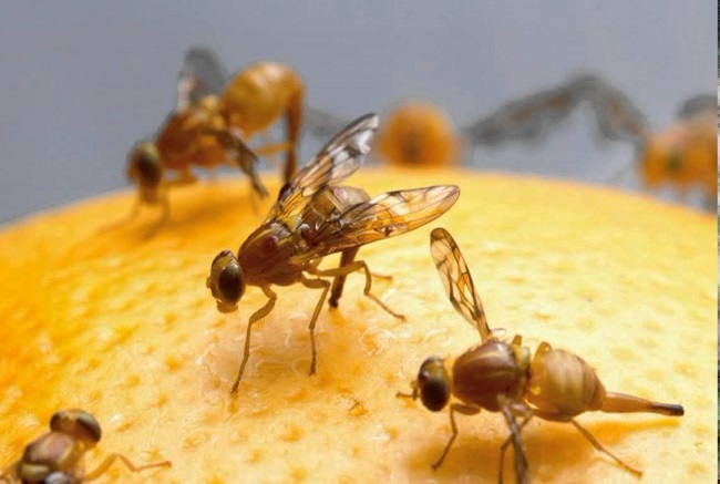 How to get rid of fruit flies the right way